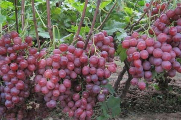 葡萄成熟时间是什么时候 葡萄是什么季节的水果插图(5)