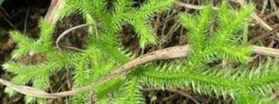 蜈蚣藤的功效与作用有哪些【蜈蚣藤百科】