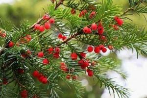 红豆杉根泡水喝的功效与作用有哪些【红豆杉根百科】