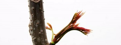 春天如何吃阿胶,养肝护肝保安康!