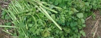 五爪子野菜的功效与作用
