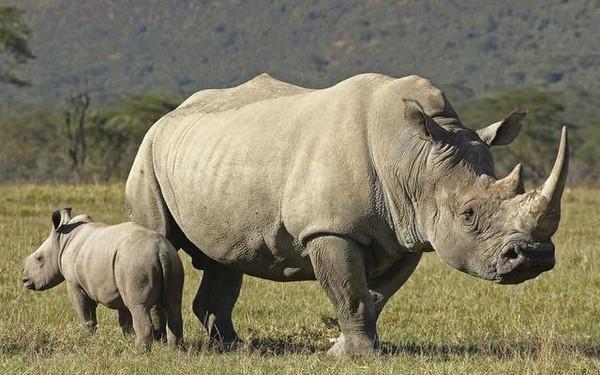 阿胶起源:周代中原大地用犀牛皮制胶插图